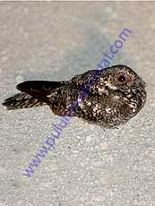 Band-winged Nightjar