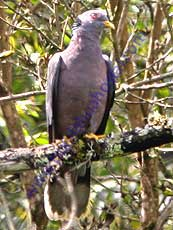 Band-tailed_Pigeon
