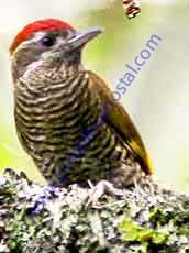 Bar-bellied -Woodpecker