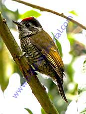 Bar-bellied_Woodpecker