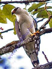 Black-and-white-Hawk-Eagle