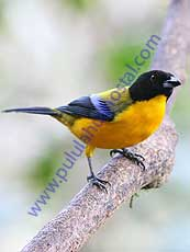 Black-chinned_Mountain_Tanager