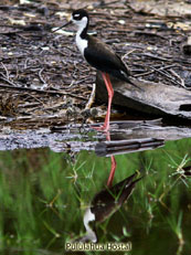 Black-necked Stilt and yung