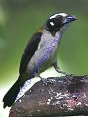 Black-winged Saltador