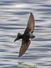 Brown-bellied Swallow