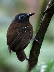 Chestnut-backed Antbir