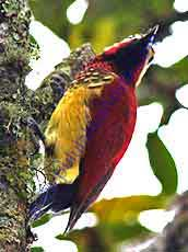 Creimson-mantled-Woodpecker