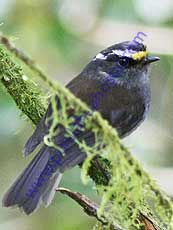 Crowned_Chat_Tyrant
