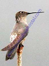 Giant-Hummingbird