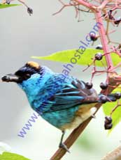 Golden-naped-Tanager