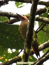 Golden-olive-Woodpecker
