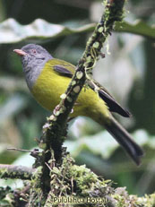 Gray-hooded Bush-tanager  Cnemoscopus rubrirostris