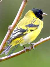 Hooded-Siskin