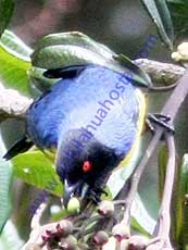 Hooded_Mountain_Tanager