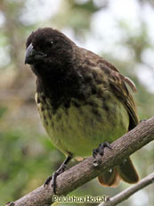 Large Tree-finch_Camarhynchus psittacula