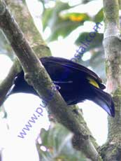 Lemon-rumped-Tanager