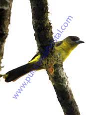 Lemon-rumped-Tanager_Female