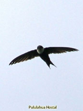 Lesser-swallow-tailed Swift