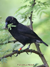 Medium Ground-Finch_Geospiza fortis