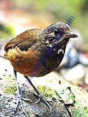 Moustached Antpitta.