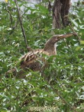 Pinnated Bittern