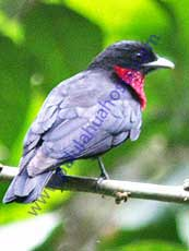 Purple-throated-Fruitcrow
