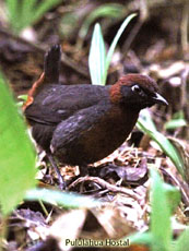 Rufous-breasted Antthrush
