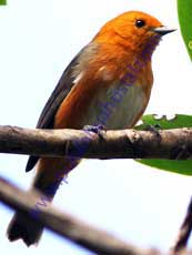 Rufous-chested-Tanager