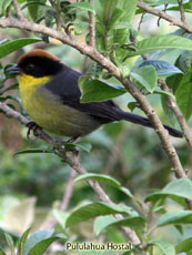 Rufoous-naped Brush-Finch