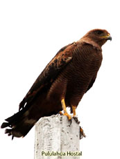 Savana Hawk