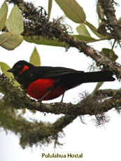 Scarlet-bellied Mountain Tanager