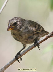 Small Ground-Finch_Geospiza fuliginosa