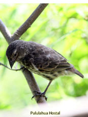 Small Tree-finch_Camarhynchus parvulus