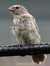 Small Tree-finch Camarhynchus parvulus
