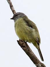 Sooty-capped Flycatcher
