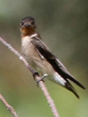 Southern-Rough-winged-Swallow