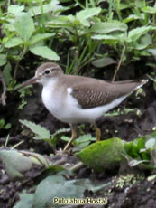 Spooted Sandpiper