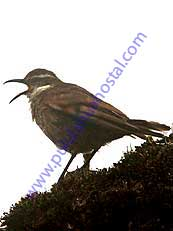 Stout-billed Cinclodes