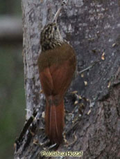 Streaked-headed Woodcreeper