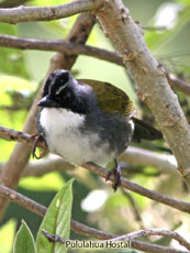 Stripe-headed Brush Finch