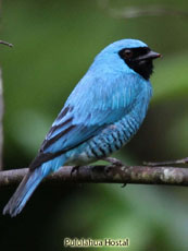 Swallow Tanager