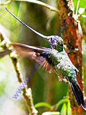 Sword-billed_Hummingbird