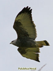 Variable Hawk Black Morph