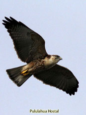 Variable Hawk juvenile above me