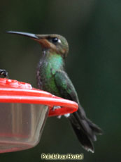 Violet-fronted Brillant