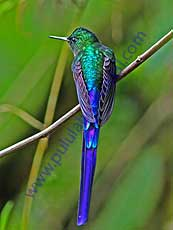 Violet-tailed_Sylph