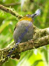 Yellow-throated-Brush-Tanager
